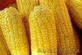 Кукуруза сорт Тулпар